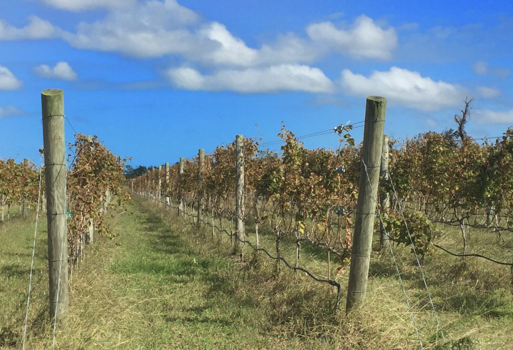 Rows of vines growing in the loose sandy soils.