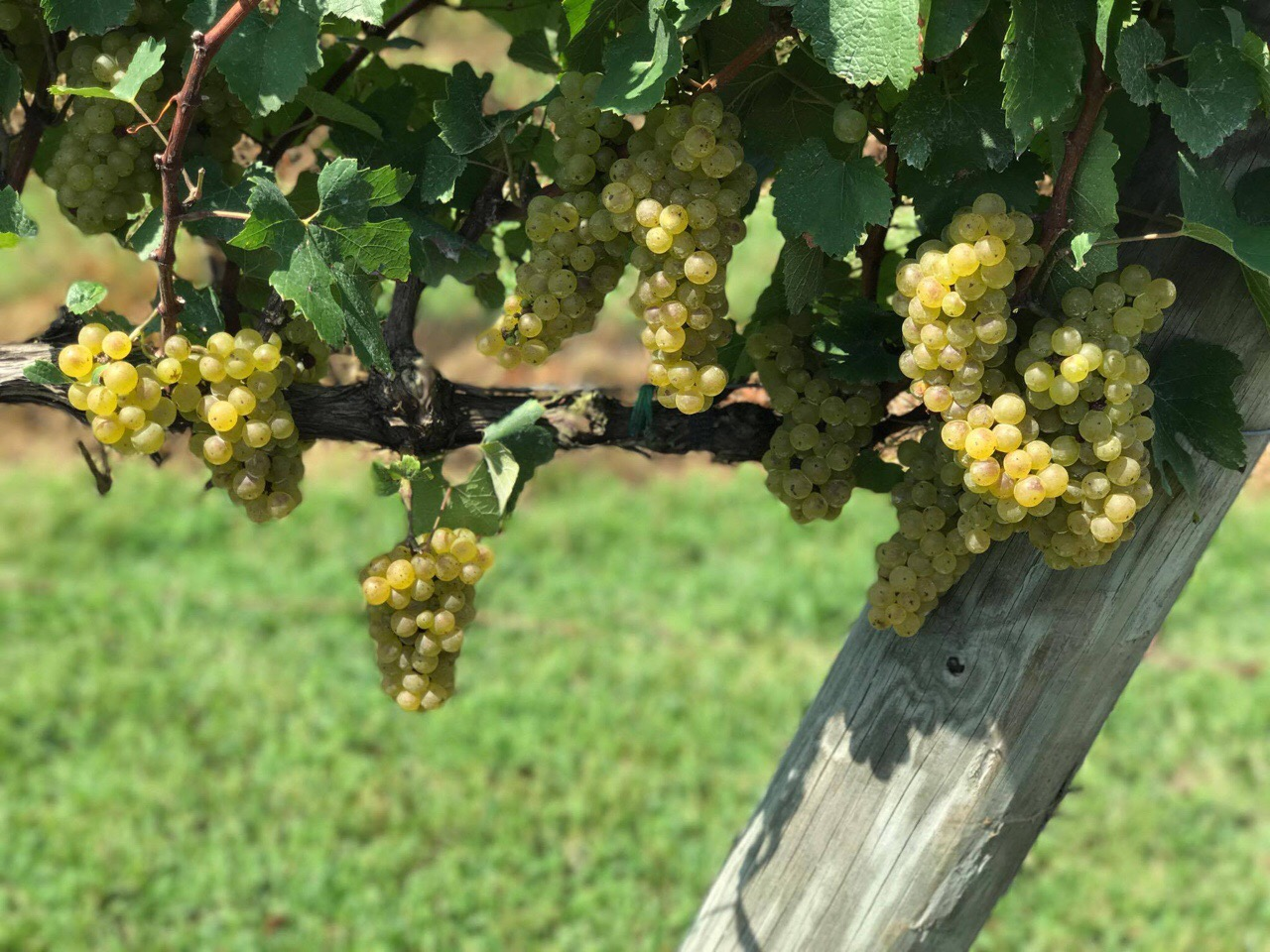 Vermentino grapes courtesy of Piccione Vineyards