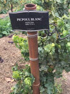 Picpoul Blanc