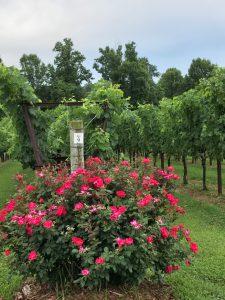 Merlot growing at Shadow Springs Vineyard - Hamptonville, NC