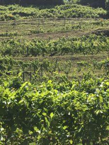 Vineyard at Grandfather Mountain Vineyard  & Winery - Banner Elk, NC